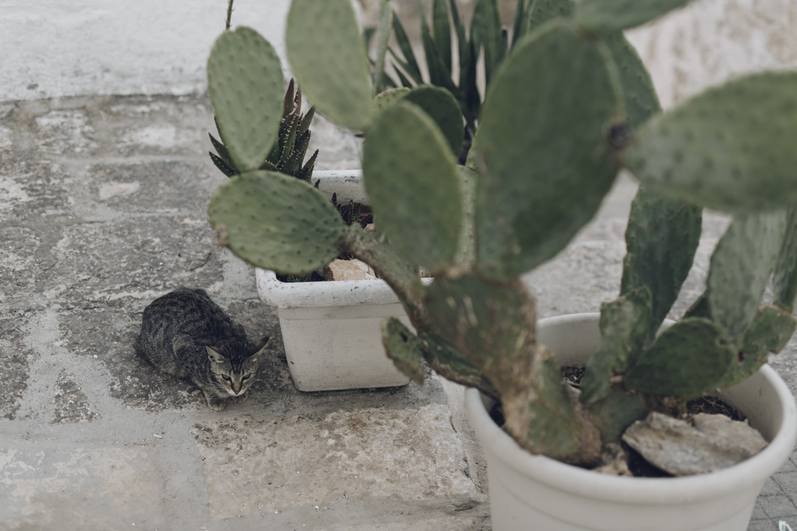 chat cactus ostuni animal domestic
